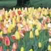 10 Прикладів вдалих поєднань тюльпанів між собою