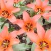 11 Кращих сортів тюльпанів Фостера