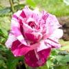 """14 Найкрасивіших стійких до """"борошнистої роси"""" троянд"""