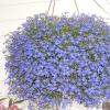 20 Блакитних квітів для вашого саду