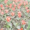 8 Кращих сортів тюльпанів Грейга