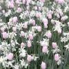9 Прикладів посадки тюльпанів з іншими рослинами