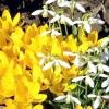 9 Самих ранніх квітів для вашого саду