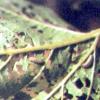 Хвороби і шкідники калини