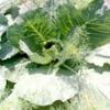 Хвороби і шкідники капусти