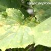 Хвороби і шкідники огірків