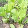 Хвороби і шкідники східній капусти