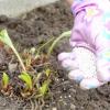 Борна кислота: застосування в садівництві