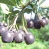 Чорноплідна горобина (аронія) - лікувальні властивості, рецепти, застосування