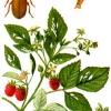Червива малина, боротьба з малини жуком