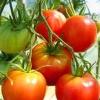 Що таке пасинкування, навіщо помідори (томати) пасинкують, видаляють зайві пагони