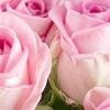 Щоб троянди стояли довше потрібно знати всього 5 дієвих секретів