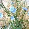 Цикорій - мамулечкін квітка