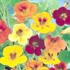 Квітка «з бульвару капуцинів» або чудова настурція для вашої дачі