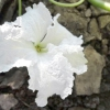 """Квітка гарбуза сорту """"булава"""""""