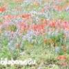 Квітуча галявина своїми руками - як виростити мавританський газон або газон з конюшини