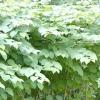 Декоративно-листяні види горця