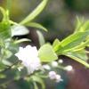 Декоративні груші, сливи, вишні та абрикоси