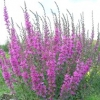 Дербенник іволістий, або плакун-трава