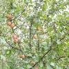 Дика яблуня (лісова) - лікувальні властивості, застосування, рецепти