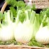 Фенхель овочевий / foeniculum