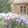 Флокси: сад безперервного цвітіння