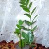 Фото декоративнолистних кімнатних рослин