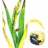 Фузаріоз гладіолуса