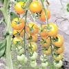 Гібриди томатів, стійкі до розповсюджених хвороб