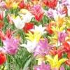 Голландські тюльпани - королеви квітів у вас вдома