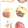 Гірка плодова гниль