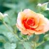 Групи сучасних троянд