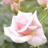 Класифікація троянд