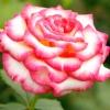 Сучасні троянди