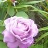 Зберігання саджанців троянд до посадки