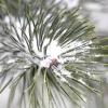 Хвойні: як підготувати до зими і що робити навесні
