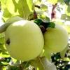 Яблука: як впоратися з урожаєм?
