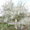 Яблуні в цвіту