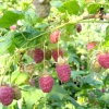 Ягода малина (малина звичайна) - лікувальні властивості, догляд, рецепти, фото