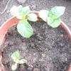 Експеримент з вирощування картоплі з шкірки