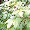 Елеутерокок колючий - лікувальні властивості, рецепти