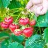 Як добитися хорошого врожаю полуниці?