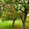 Як і скільки часу поливати плодові дерева