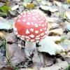 Як уникнути отруєння отруйними грибами