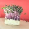 Як легко і швидко виростити крес-салат на підвіконні