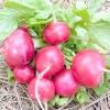 Як отримати насіння редиски