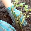 Як правильно садити троянди. обрізка при посадці