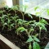 Як правильно доглядати за розсадою на віконці, полив підгодівля