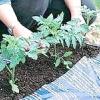 Як правильно вибирати розсаду помідор