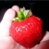 Як правильно вирощувати полуницю. отримувати велику ягоду